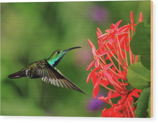 Green-breasted Mango Hummingbird, Costa Wood Print by Adam Jones