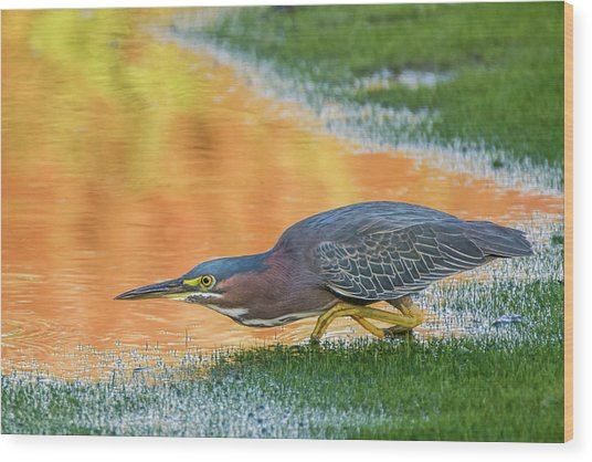 Green Heron 6227-061219-2 Wood Print