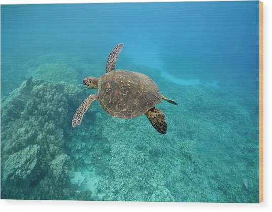 Green Sea Turtle, Big Island, Hawaii Wood Print by Paul Souders