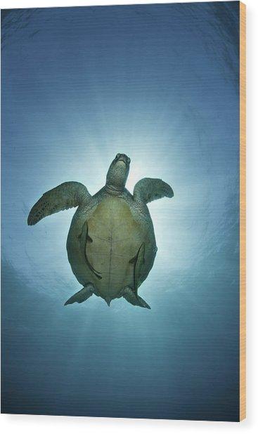 Green Sea Turtle Over Sun Wood Print
