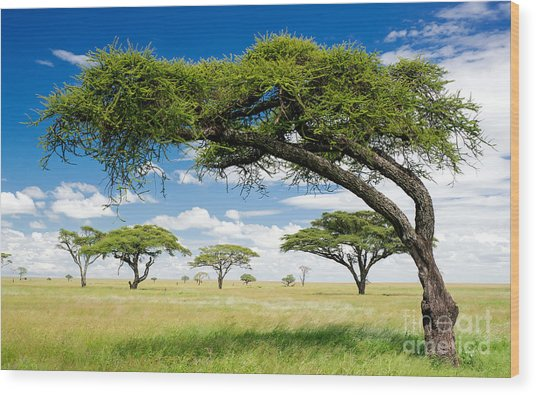 Green Trees In Africa, After The Rainy Wood Print