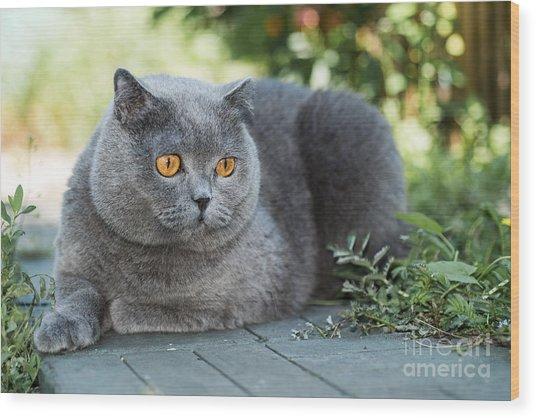 Grey British Cat Lying In The Green Wood Print