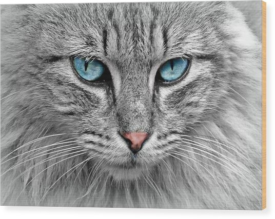 Grey Cat With Blue Eyes Wood Print