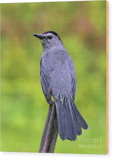 Grey Catbird Wood Print