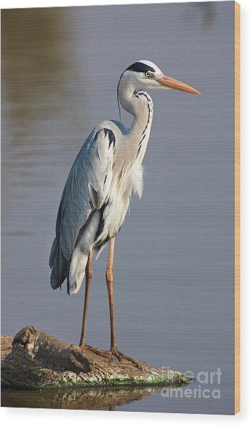 Grey Heron  Ardea Cinerea  South Africa Wood Print by Johan Swanepoel