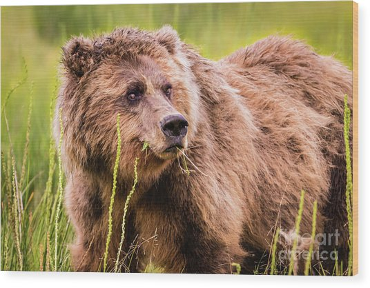 Grizzly In Lake Clark National Park, Alaska Wood Print