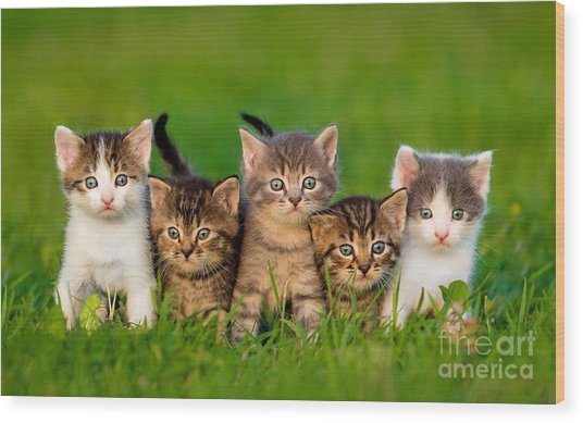 Group Of Five Little Kittens Sitting On Wood Print