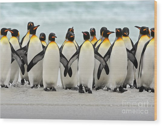 Group Of King Penguins Coming Back Wood Print