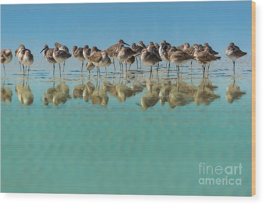 Group Of Willets Reflection On The Wood Print