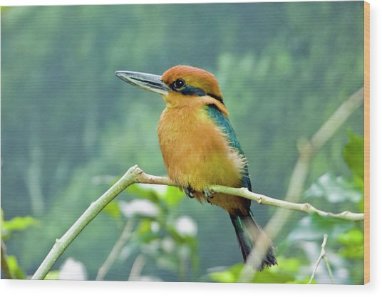 Guam Micronesian Kingfisher Wood Print by By Ken Ilio