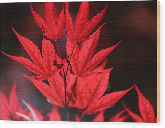 Guardsman Red Japanese Maple Leaves Wood Print
