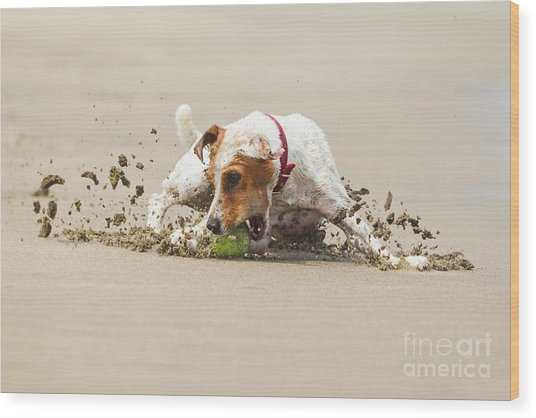Happy Dog Stopping On The Ball High Wood Print