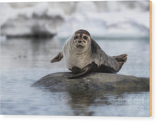Harbour Seal On A Rock In Svalbard Wood Print