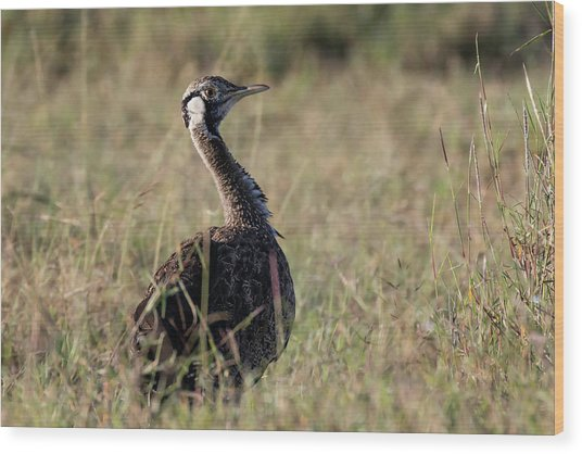 Black-bellied Bustard Wood Print