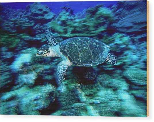 Hawksbill Sea Turtle, Maldives Wood Print by Stuart Westmorland
