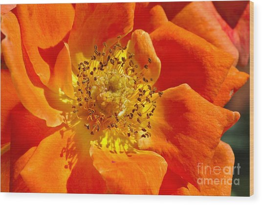 Heart Of The Orange Rose Wood Print
