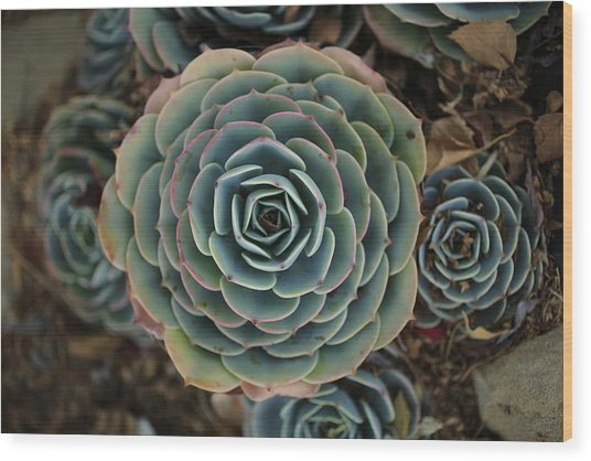 Hen And Chicks Succulent Wood Print
