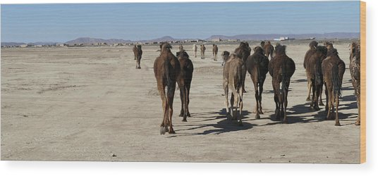 Herd Of Camels Crossing The Highway Near  Rissani Wood Print