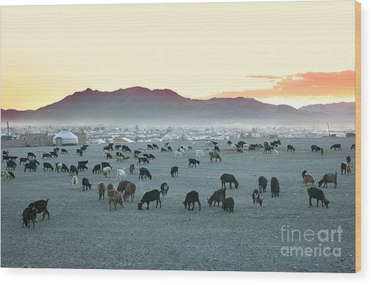 Herd Of Goats In The Sunset At Wood Print