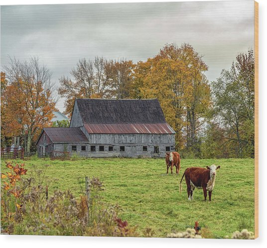 Herefords In Fall Wood Print