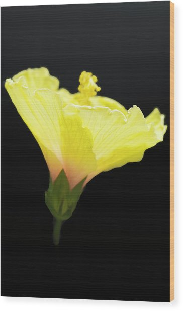 Hibiscus In Black Wood Print