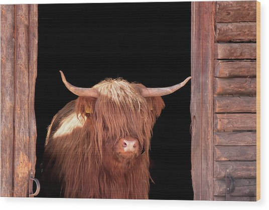 Highland Cattle In Barn Door Wood Print by Kerrick