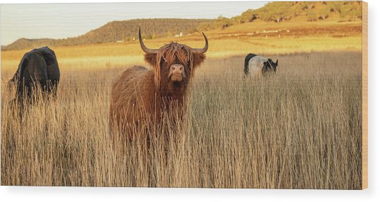 Highland Cows On The Farm Wood Print