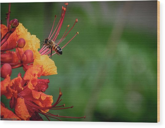 Honey Bee Extraction Wood Print