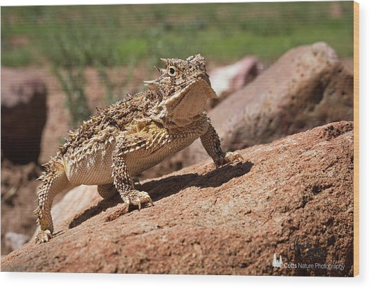 Horny Toad Wood Print
