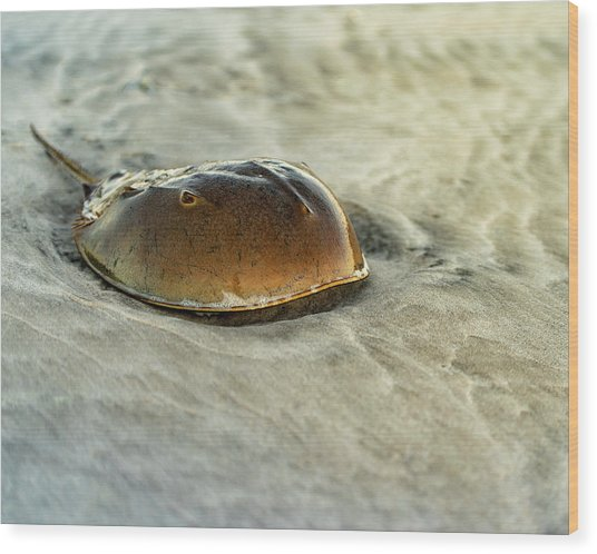 Wood Print featuring the photograph Horseshoe Crab On The Beach by William Dickman
