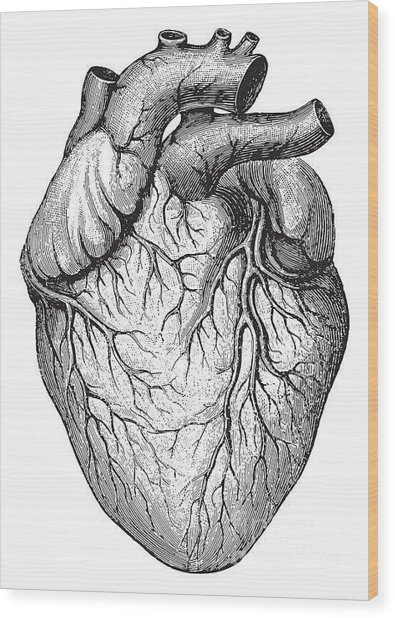 Human Heart  Vintage Illustrations From Wood Print