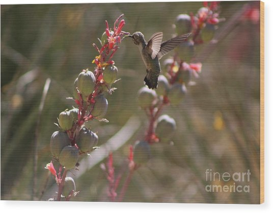 Hummingbird Flying To Red Yucca 3 In 3 Wood Print