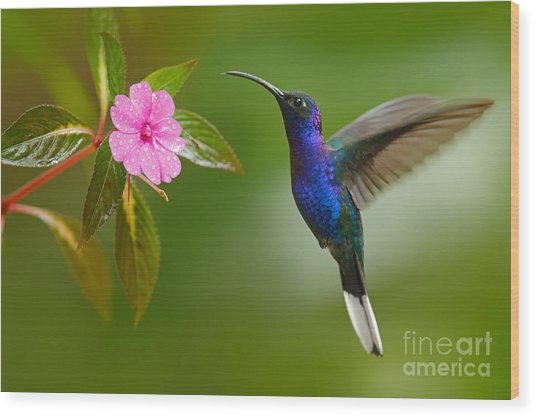 Hummingbird Violet Sabrewing Flying Wood Print