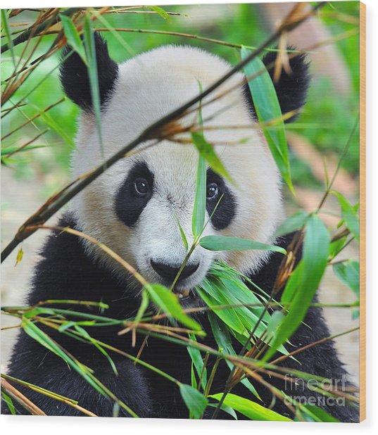 Hungry Giant Panda Bear Eating Bamboo Wood Print
