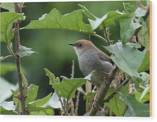 Hunter's Cisticola Wood Print