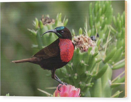 Hunter's Sunbird Wood Print