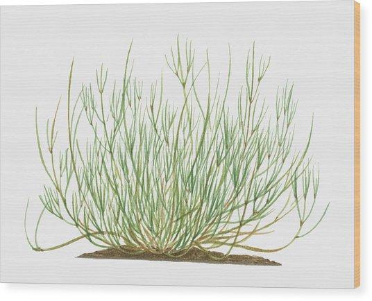 Illustration Of Ephedra Sinica Wood Print by Matthew Ward