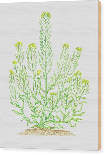Illustration Of Erysimum Cheiranthoides Wood Print by Dorling Kindersley