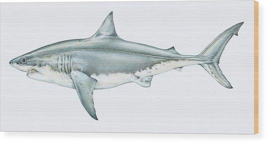 Illustration Of Great White Shark Wood Print by Dorling Kindersley