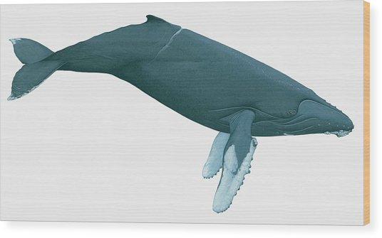 Illustration Of Humpback Whale Wood Print by Dorling Kindersley