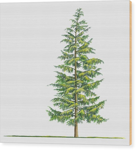 Illustration Of Large Evergreen Tsuga Wood Print by Sue Oldfield