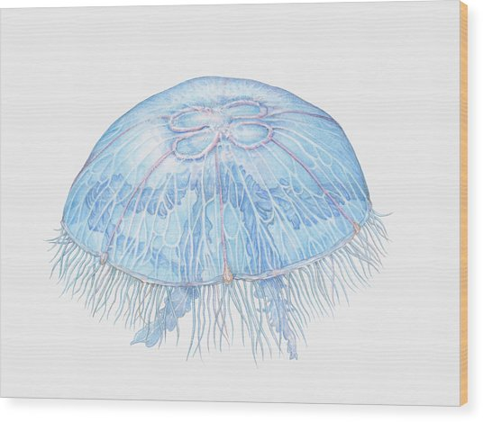 Illustration Of Moon Jellyfish Aurelia Wood Print by Dorling Kindersley