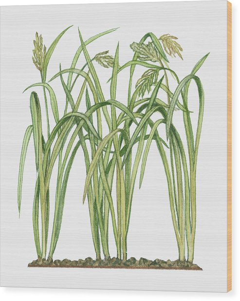 Illustration Of Oryza Sativa Asian Rice Wood Print by Michelle Ross