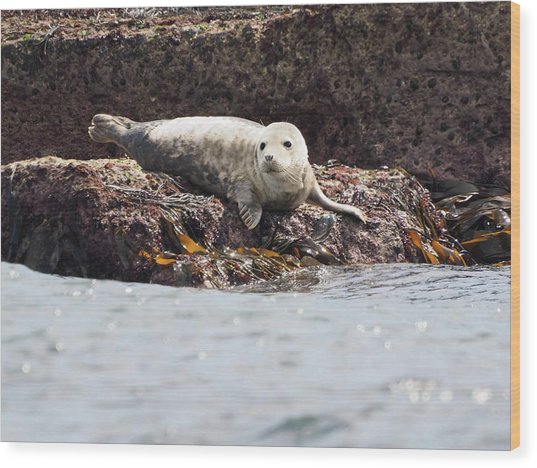 Harbor Seal - Supporting World Wide Fund For Nature Wood Print