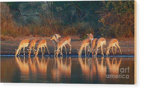 Impala Herd Aepyceros Melampus Drinking Wood Print