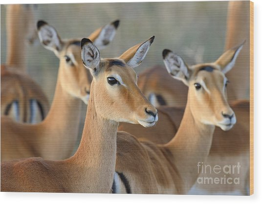 Impala On Savanna In National Park Of Wood Print