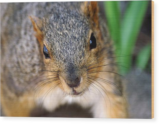 In Your Face Fox Squirrel Wood Print