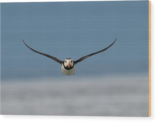 Incoming Puffin Wood Print