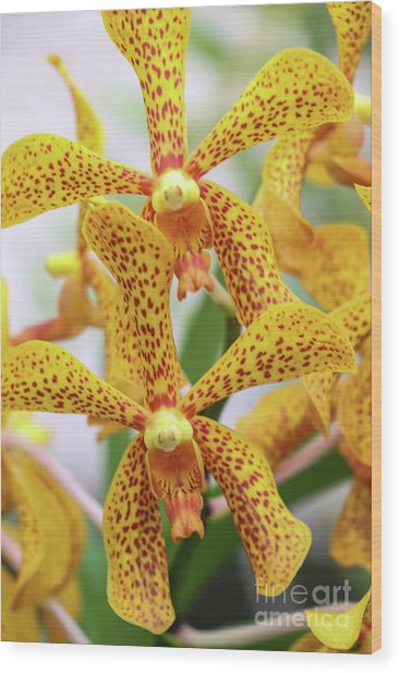 Intriguing Yellow Spider Orchids Wood Print