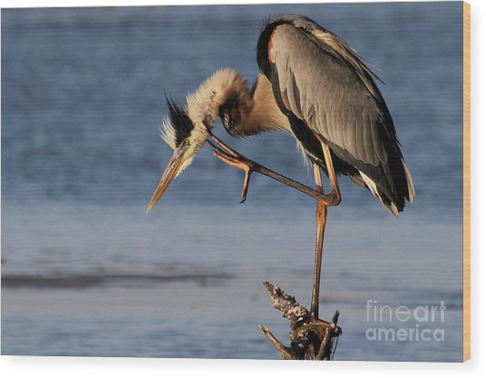Itchy - Great Blue Heron Wood Print